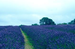 Lavender fieldIMG_2590_1024