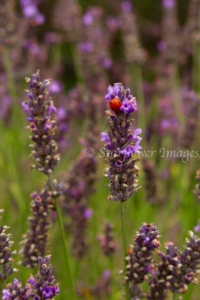 Lavender fieldIMG_2609_1024