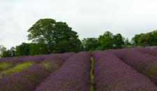 Lavender fieldIMG_2624_1024