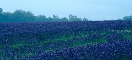 Lavender fieldIMG_2632_1024