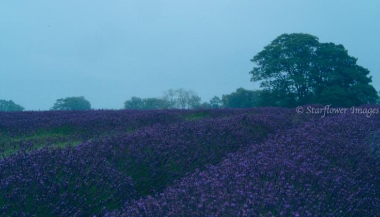 Lavender fieldIMG_2640_1024