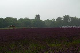 Lavender fieldIMG_2642_1024