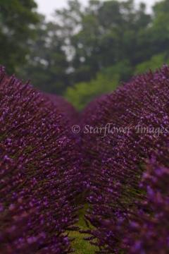 Lavender fieldIMG_2651_1024