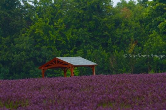 Lavender fieldIMG_2660_1024
