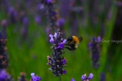 Lavender fieldIMG_2727_1024