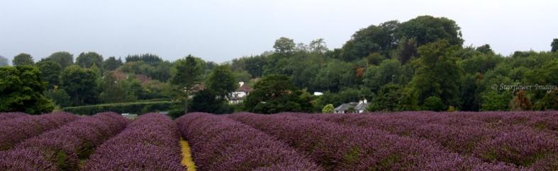 Lavender fieldIMG_2735_1024