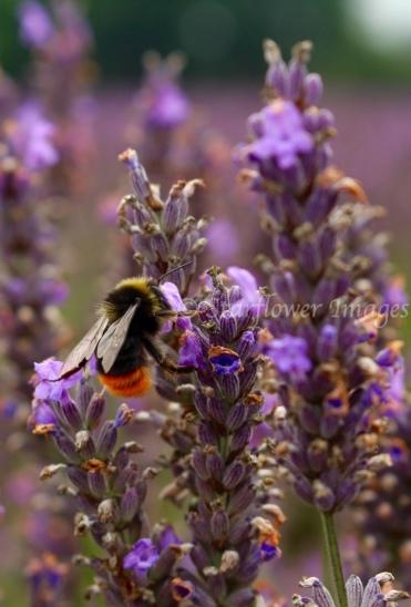 Lavender Fields_2583_1024