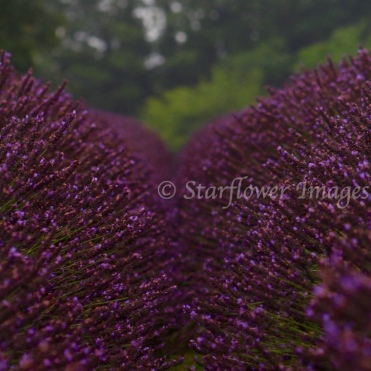 Lavender Fields_2651_1024