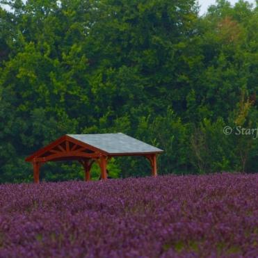 Lavender Fields_2660_1024