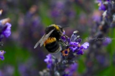 Lavender Fields_2699_1024