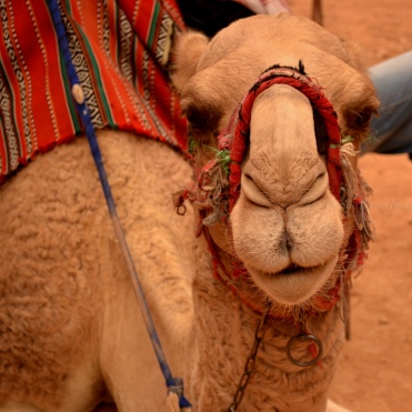 Friendly Camel, Petra