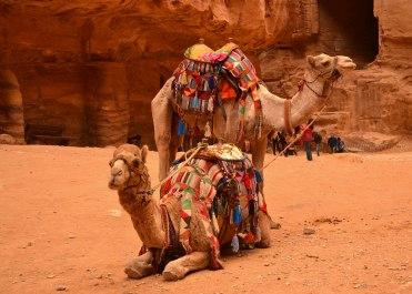 Camels of Petra